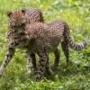 Cheeta welpjes in Burger's Zoo blijven populair bij bezoekers